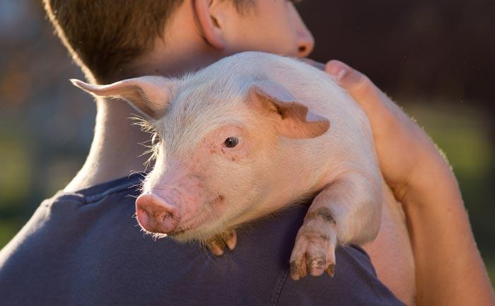 eleveur-porc