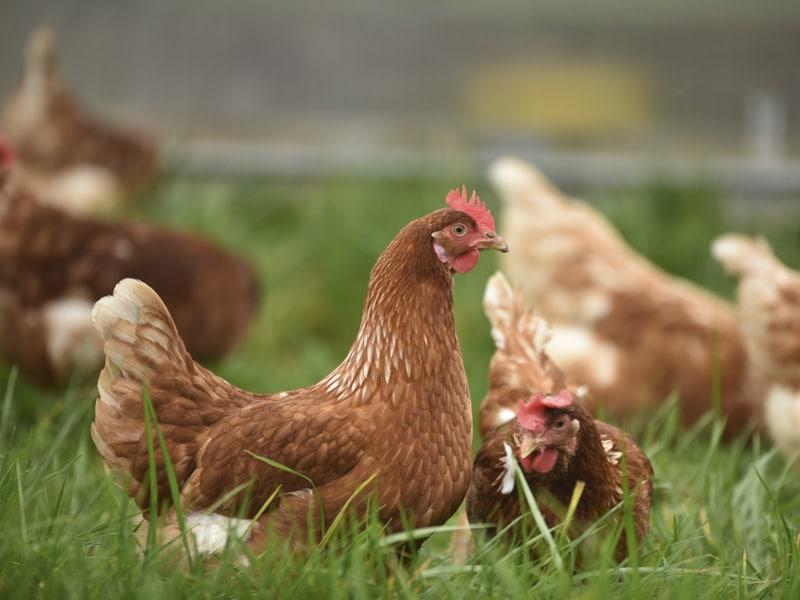 Les volailles de maison de l'Aveyron